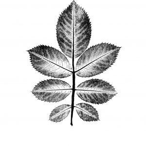 Rose Leaf Black