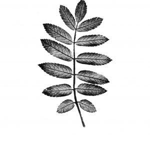 Rowan Leaf Print Black