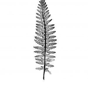 Tall Fern Print black